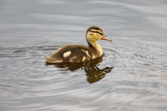 Floating Baby Duck Stock Photos