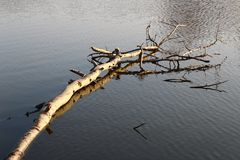 Floating birch pond . Floating birch pond in the setting sun Stock Photography