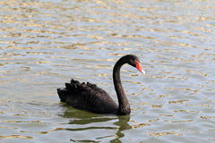 Floating black swan Stock Photography