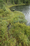 Floating Bog Edge. Mosses and other bog plants creep out of the edge of a lake in northern Wisconsin Stock Photo