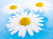 Floating Chamomiles. Beautiful chamomile flowers floating on sky-blue water Stock Photo