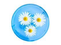 Floating Chamomiles. Delicate chamomiles floating on water in a blue bowl Royalty Free Stock Photo
