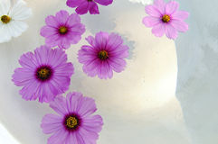 Floating cosmos flowers. Close up of Floating cosmos flowers in terrazzo tub Stock Photography