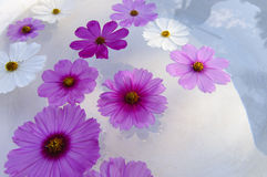 Floating cosmos flowers. In terrazzo tub Royalty Free Stock Photos