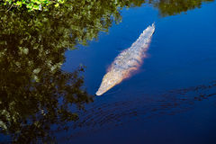 Floating Crocodile in Costa Rica Royalty Free Stock Images