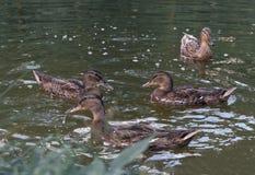 Floating cute ducks awaiting treats.  Stock Photography
