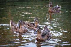 Floating cute ducks awaiting treats.  Royalty Free Stock Image