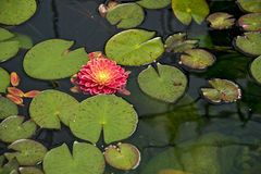 Floating dahlia in lily pads Stock Photos