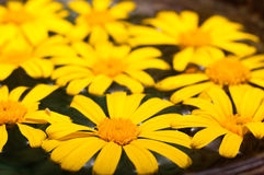 Floating Daisies Stock Photography