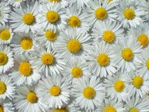 Floating daisies Stock Photo