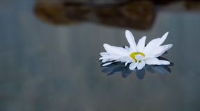 Floating Daisy. Daisy bloom floating on still pool, dusk lighting royalty free stock image