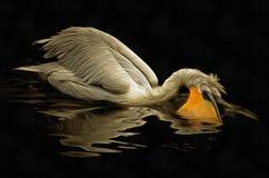 Floating Dalmatian pelican Stock Images