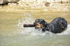 Floating dog with a stick Royalty Free Stock Image