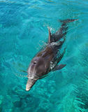Floating dolphins. Dolphin, floating like a torpedo Stock Image