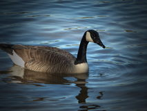 Floating Duck Royalty Free Stock Images