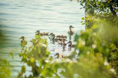 A wild duck with a brood of ducklings swimming along the lake. Floating duck with a brood of ducklings on the water Stock Image