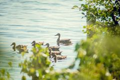 A wild duck with a brood of ducklings swimming along the lake. Floating duck with a brood of ducklings on the water Royalty Free Stock Image