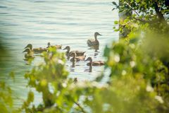 A wild duck with a brood of ducklings swimming along the lake. Floating duck with a brood of ducklings on the water Stock Photography