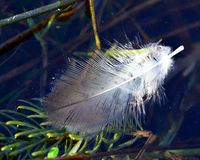 Floating Duck Feather. Duck feather floating in a pond Royalty Free Stock Photography