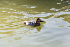 Floating duck. Royalty Free Stock Image