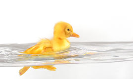 Floating duckling. Floating cute duckling isolated on white Stock Image
