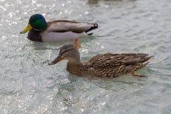 Floating ducks. Two Mallard ducks swimming on the pond stock photography