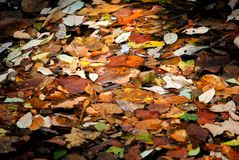Floating Fall Leaves. Fall leaves floating in a river Stock Image