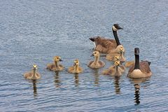 Floating Family of Canada Geese. Two adult geese watch over their goslings as they float across the water stock photography