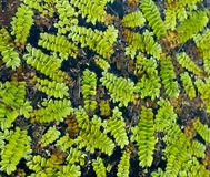 Floating fern Salvinia natans on water surface Royalty Free Stock Photography