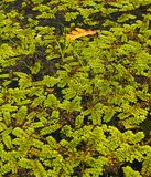 Floating fern Salvinia natans on water surface Stock Photography