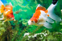 Floating fishes in an aquarium Royalty Free Stock Photo