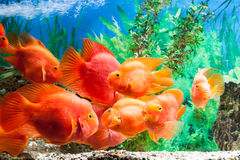 Floating fishes in an aquarium Royalty Free Stock Images