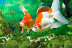 Floating fishes in an aquarium Stock Photography