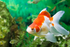 Floating fishes in an aquarium Royalty Free Stock Photos