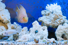 Floating fishes in an aquarium with stones Stock Photography