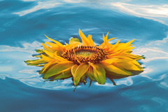 Floating flower. Yellow sunflower flaoting on water Stock Images