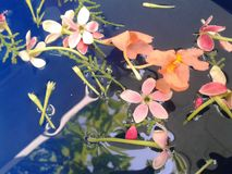 floating flower on water Rangoon creeper royalty free stock photo