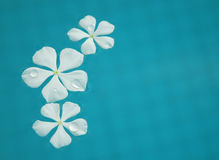 Floating Flowers. White tropical flowers floating in the pool Royalty Free Stock Photography
