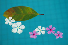 Floating Flowers. White and purple tropical flowers floating in the pool Stock Photo