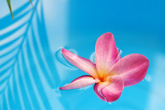 Floating frangipani Stock Photo
