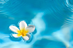 Floating Frangipani. Frangipani (plumeria) flower floating in water stock image