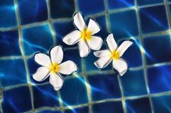 Floating frangipani Royalty Free Stock Photos