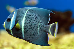 Floating french angelfish Stock Image