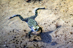 Floating frog Stock Photography