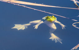 Floating Frog Stock Images