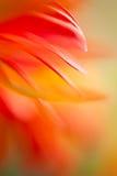Floating Gerbera. Macro abstract of gerbera flower petals stock images