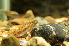 Floating goby Royalty Free Stock Photo