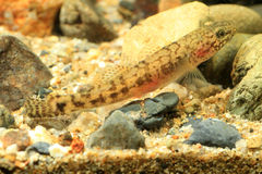 Floating goby Royalty Free Stock Images