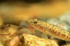 Floating goby Royalty Free Stock Image