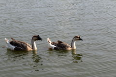 Floating goose Royalty Free Stock Photos